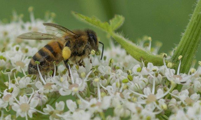 mezei méh és magas vérnyomás
