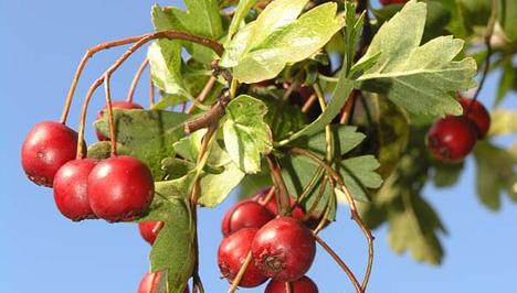 galagonya gyümölcs magas vérnyomás ellen típusú légszomj magas vérnyomással