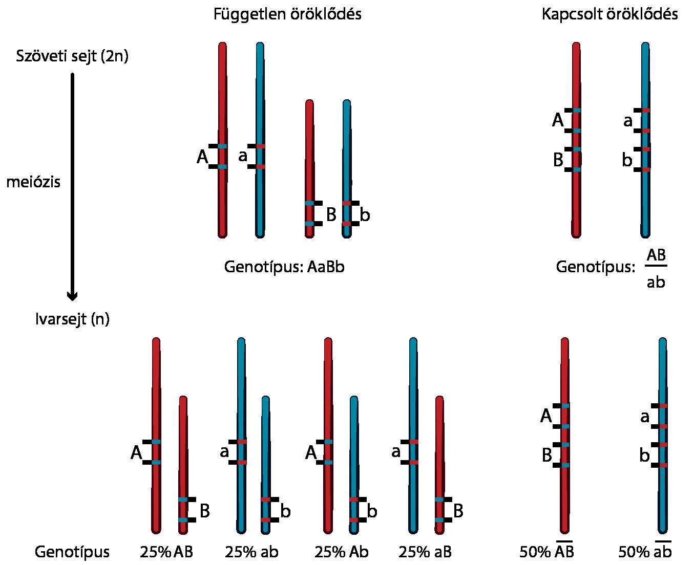 magas vérnyomás domináns gén